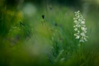 OrchidejeUvod