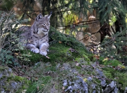 Rys (Bavorský les)