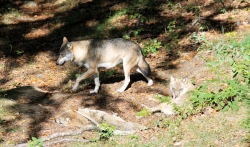 Vlk (Bavorský les)