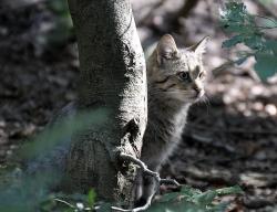 Kočka (Bavorský les)