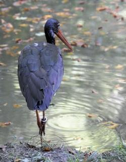 Čáp černý (Bavorský les)