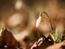 sněženka podsněžník