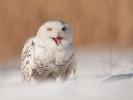 Sovice sněžná