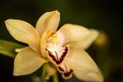 Cymbidium (Orchidej)