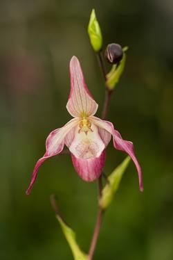 Paphiopedilum (Orchidej)