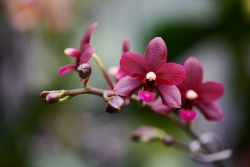 Phalenopsis (Orchidej)