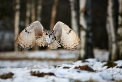 výr sibiřský