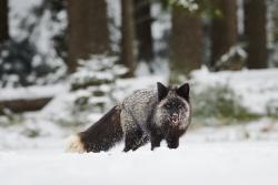 liška obecná (stříbrná)