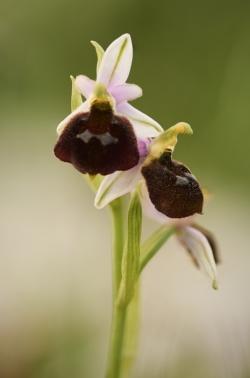 tořič sršňonosný pollinský