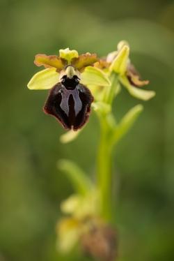 tořič velikonoční gargánský (ophrys passionis subs. garganica)