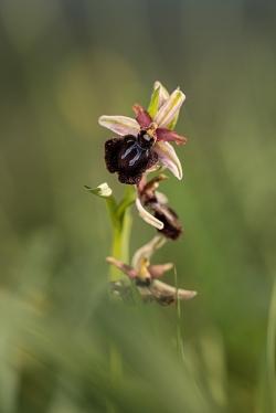 tořič sipontský (ophrys sipontensis)