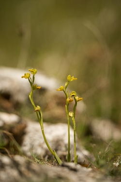 tořič žlutý (ophrys lutea)
