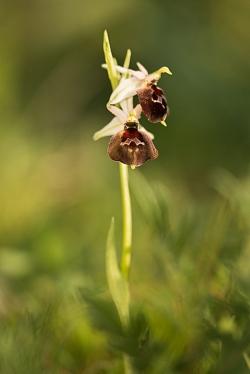 tořič sršňonosný pollinský (ophrys crabronifera subsp. pollinensis)