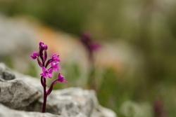 vstavač čtyřskvrnný (orchis quadripunktata)