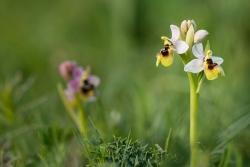 tořič pilatkonosný (ophrys tenthredinifera)