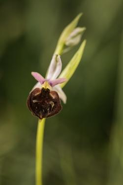 tořič bertolonův garganský (ophrys bertolonii)
