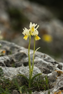 vstavač chudokvětý (orchis pauciflora)