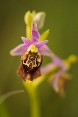 tořič čmelákovitý apulský (ophrys holoselica subsp. apulica)