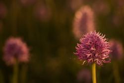 vstavač italský (orchis italica)
