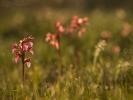 vstavač motýlovitý (orchis papilionacea)