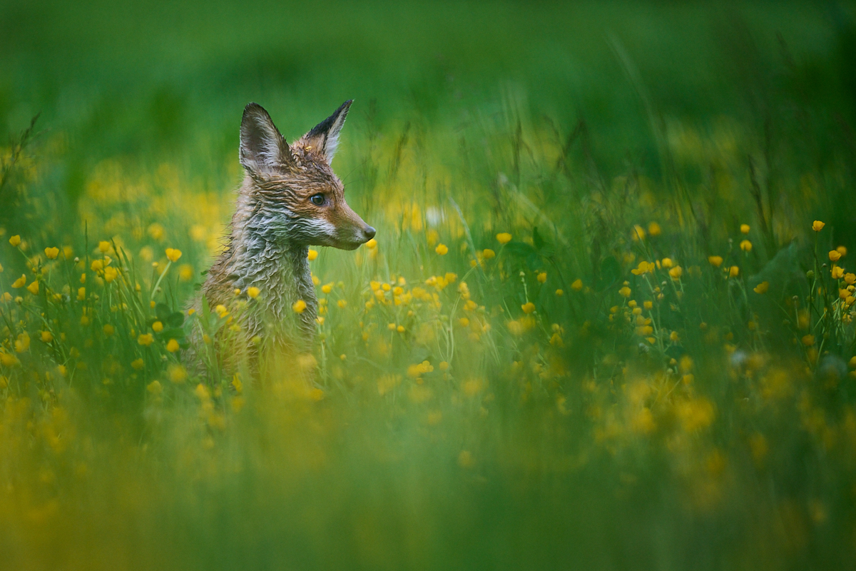 liška obecná