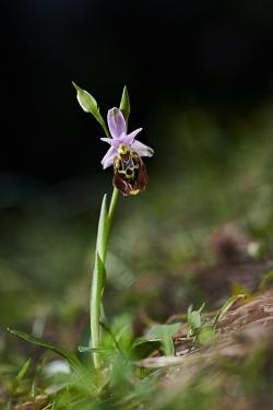tořič (ophrys episcopalis)
