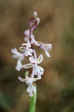 orchis anatolica subs. sitiaca
