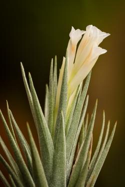 T. aeranthos alba