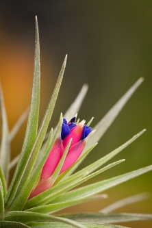 T. aeranthos nigra