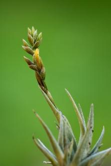 T. loliacea