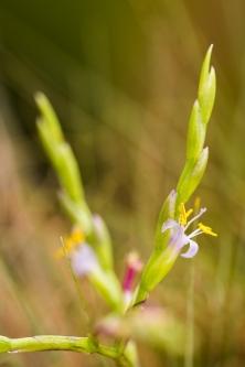 T. filifolia