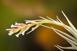 T. stricta albifolia