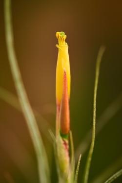 T. schiedeana