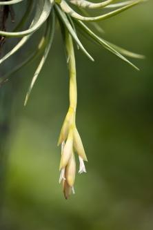 T. araujei green