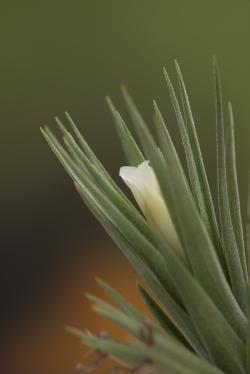 aeranthos alba