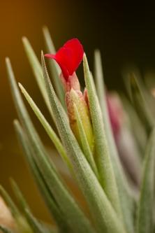 albertiana x roseaflora
