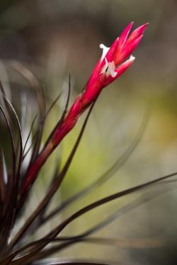 tenuifolia amethyst