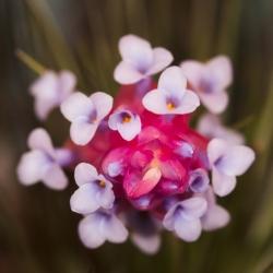 tenuifolia stiffclump