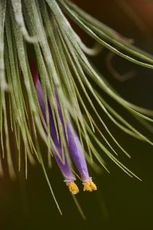T. magnusiana