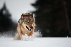 vlk euroasijský