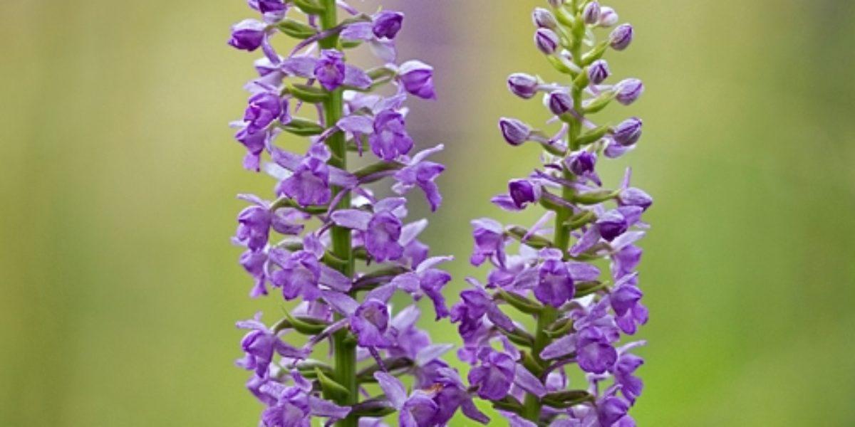 Letní orchideje (2015_07)