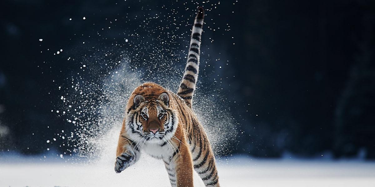 Tygr ussurijský (2019-01)