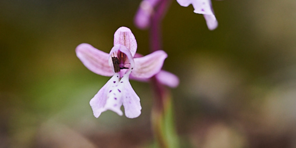 orchis anatolica subst. sitiaca