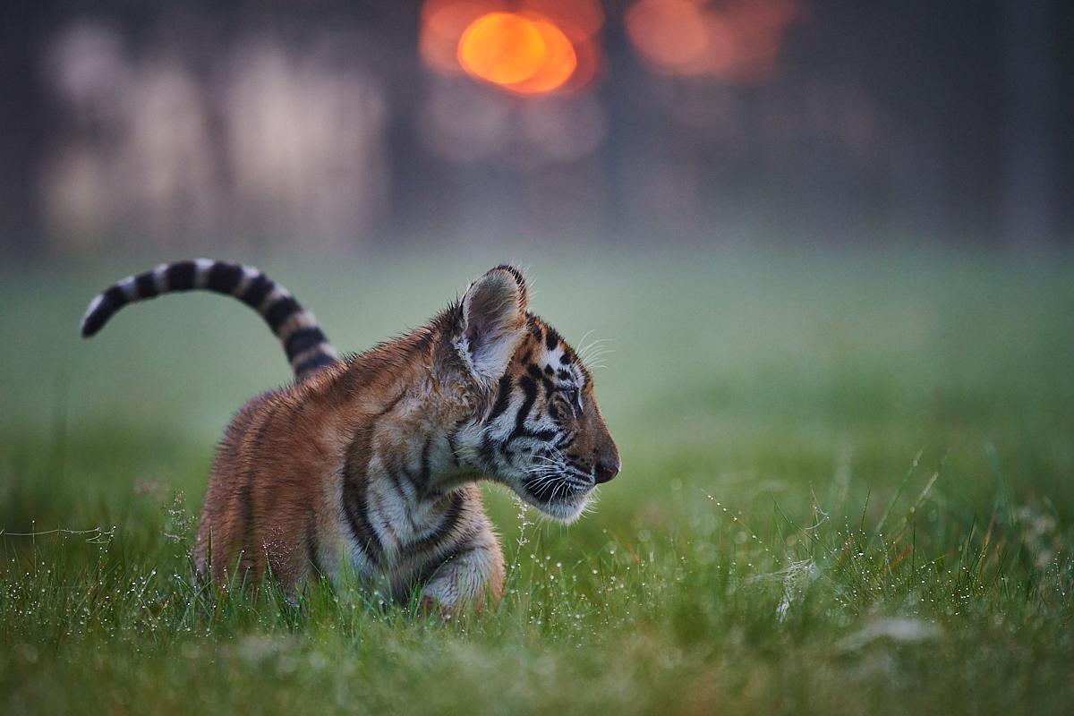 Tygr ussurijský (2020)
