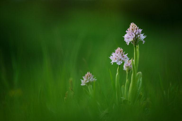 Orchideje Jižní Moravy (2021-05-15)