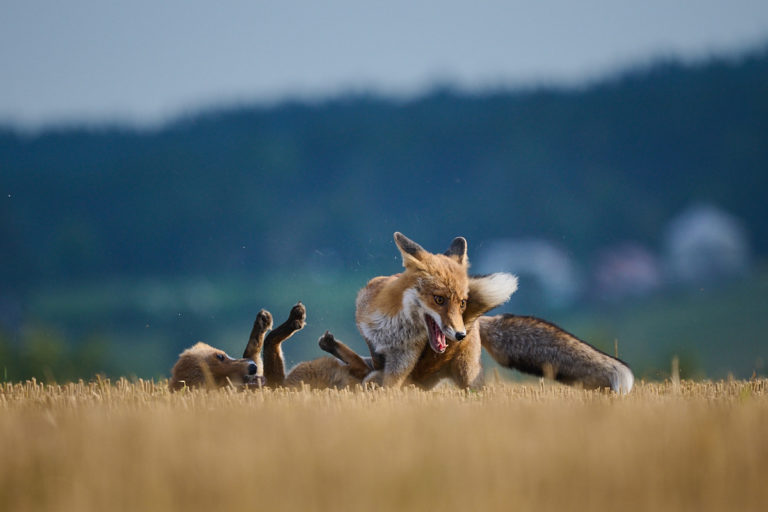 Jezevec, liška a sovy (2021-09)