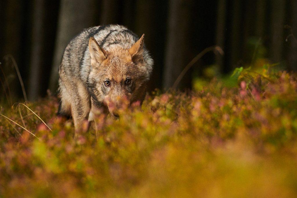 Vlk na vysočině (2017)