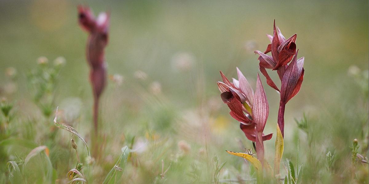 Orchideje Rhodosu