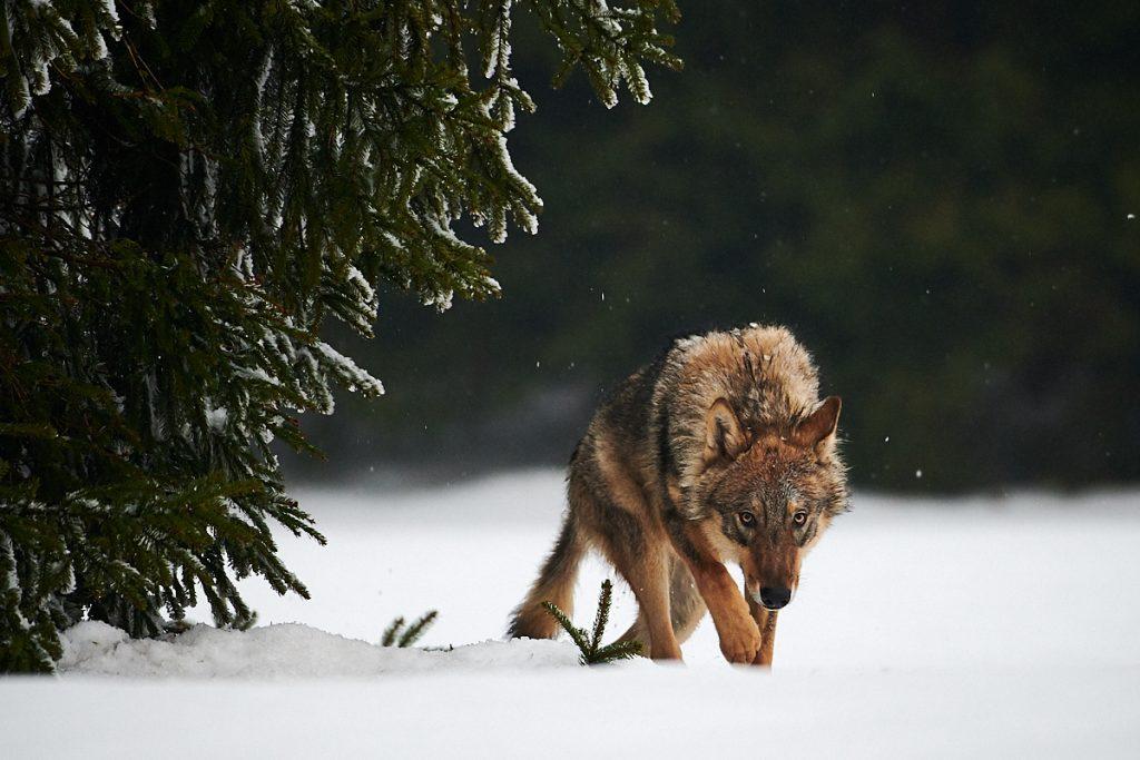 Vlk na Vysočině