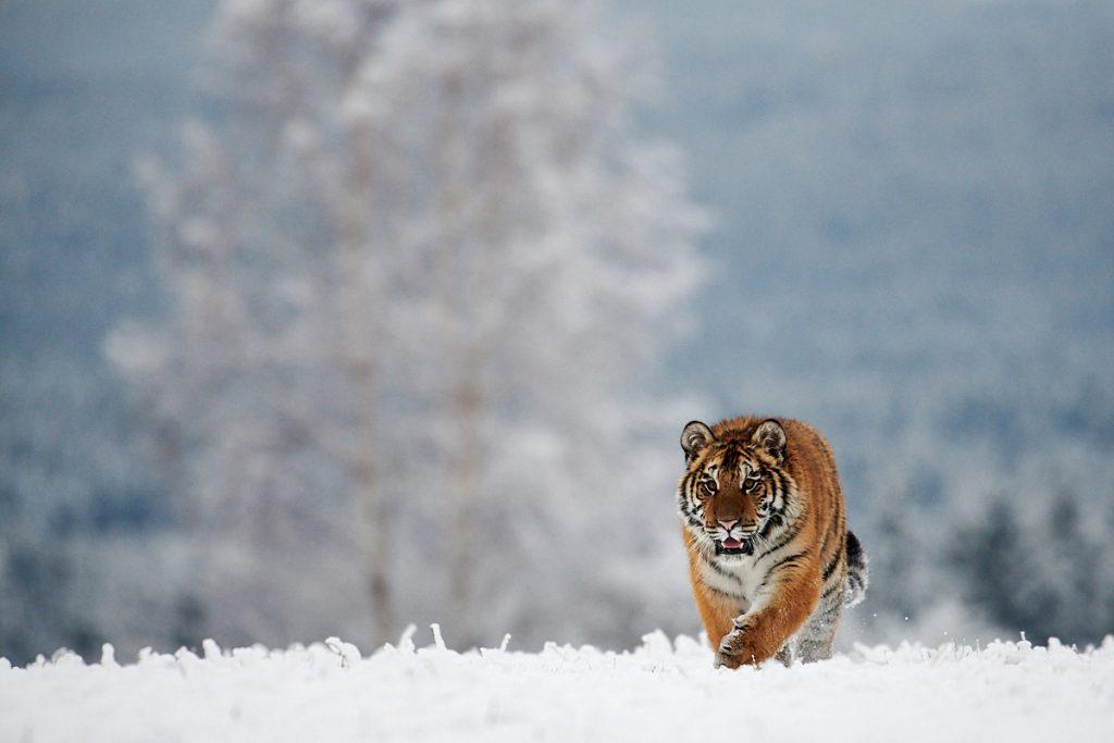 Tygr ussurijský na zasněžené Vysočině